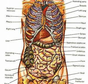 As Organism Consists Various Organ Systems Each Which