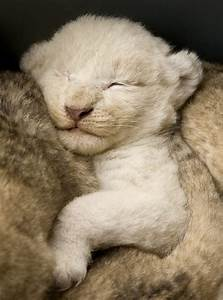 13 best Baby Lions images on Pinterest