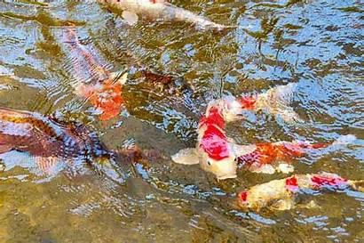 Koi Fish Carp Colorful Swimming Pond