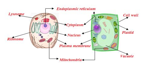 plant cell  animal cell structure  images  byjus