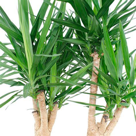 yucca palme ableger yucca palme palmlilie pflege 123zimmerpflanzen