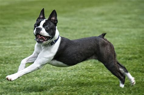 beautiful boston terrier dog pictures