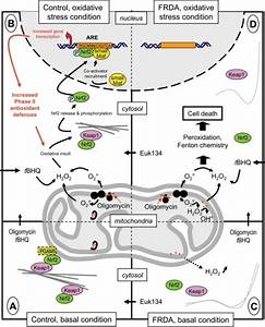 Diagram of the actin-Nrf2 signaling pathway in control ...