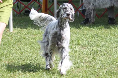 english setter breed information english setter images