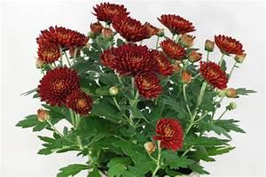 Dendranthema Hybride Balkon : chrysanthemum indicum hybrids ~ Lizthompson.info Haus und Dekorationen
