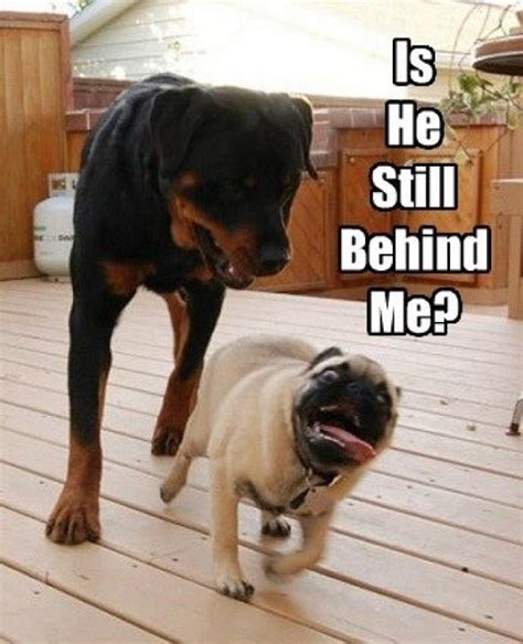 Rottweiler Memes - 12 hilarious rottweiler memes will make your day page 2 of 4 the waggington post