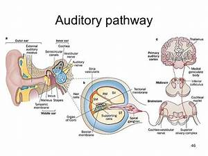 Auditory Pathway  3 Figures In 1  Left  Diagram Of The