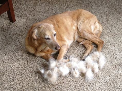 shedding dogs types breeds   characteristics