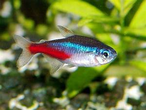 Amazing Fresh Water Fish: NEON TETRA