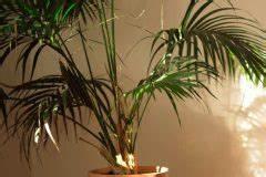 Kentia Palme Braune Blätter : palmen schneiden wann wie und warum ~ Watch28wear.com Haus und Dekorationen