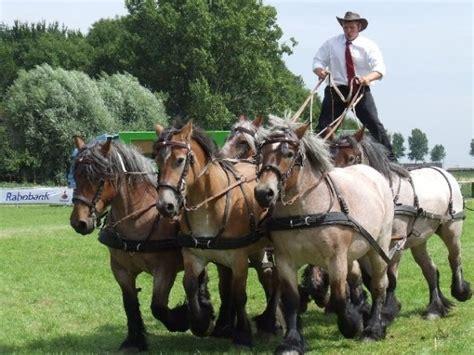 horses draft riding roman brabant horse belgian heavy breeds five awesome pony