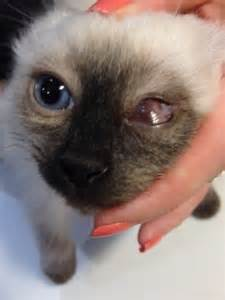 conjunctivitis in cats ophthalmology cat