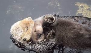 This Baby Otter Falling Asleep On Moms Belly Is Too Adorable For Words