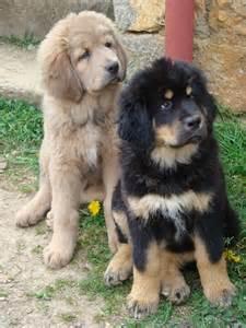 Tibetan Mastiff Puppies