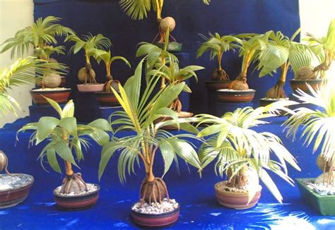 tanaman hias unik usaha juri setyanto bonsai pohon kelapa