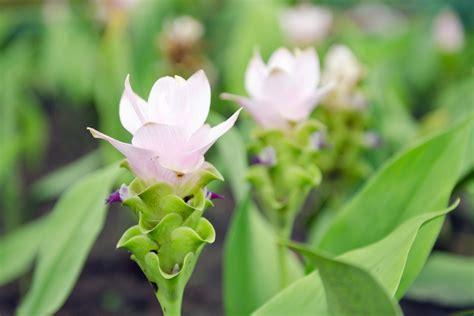 curcuma pflanze pflege kurkuma pflegen 187 gie 223 en d 252 ngen 220 berwintern und mehr safranwurz