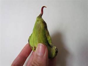 How to germinate a mango seed - YouTube