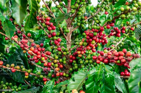 Download coffee tree stock photos. Coffee Beans On A Branch Of Treered And Green Arabica Coffee Beans Ripening On Tree In Coffeee ...