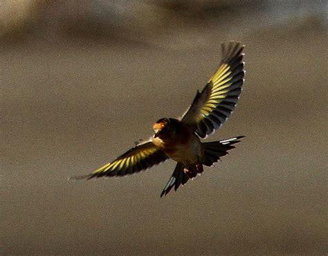 european goldfinch  zealand birds