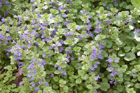 how to get rid of creeping how to get rid of creeping charlie weeds blain s farm fleet blog