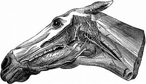 Head Of A Horse Showing Nerves