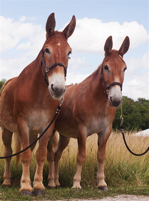 mules missouri mule horse draft animal team horses belgian animals farm magazine donkeys donkey edu pretty mizzoumag rule female mizzou