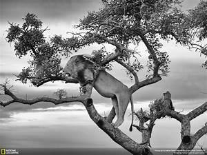 Tableau Lion Noir Et Blanc : tableau animaux le lion noir et blanc my art com chainimage ~ Dallasstarsshop.com Idées de Décoration