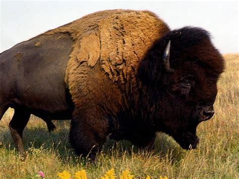 funshh world latest buffalo animal wallpapers