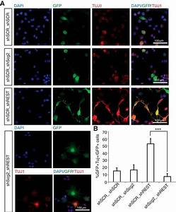 REST Regulates Non–Cell-Autonomous Neuronal ...