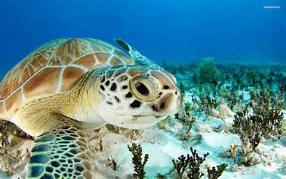 Turtle Koala Wallpapers Turtles Sea