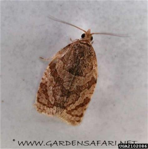 http://www.fomesa.net/Calidad/Variedades/Plagas/pepita/Lepidopteros.htm
