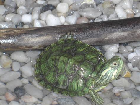 j ai fait la betise d acheter des tortues aquatiques aquariums et vivariums forum animaux