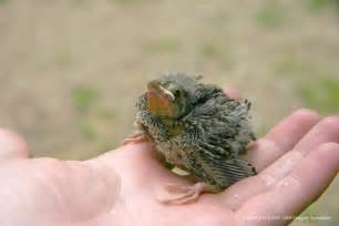 Baby Bird Brown-headed Cowbird Pictures