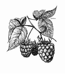Image Gallery raspberry drawing