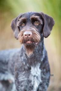 German Wirehaired Pointer. By K&M Photo.   FCI Group 7 ...
