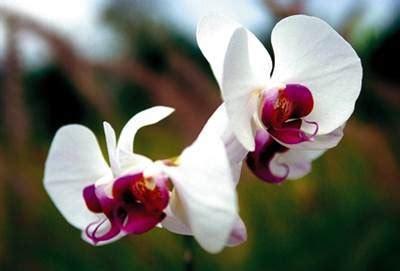 ดอกไม้ประเทศอินโดนีเซีย   ดอกไม้ประจำชาติ