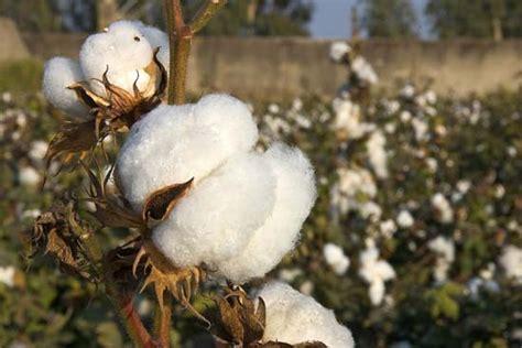 cotton planters cotton description cultivation diseases facts