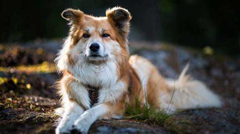 icelandic sheepdog information characteristics facts