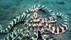 Live Footage Of Mimic Octopus [HD] - YouTube
