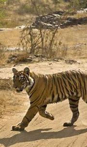 'Bengal Tiger Hunting, Ranthambhore Np, Rajasthan, India ...