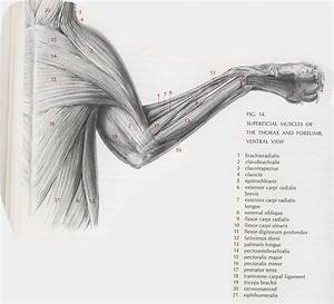 This Is A Very Detailed Diagram Of Muscles In A Cat  It