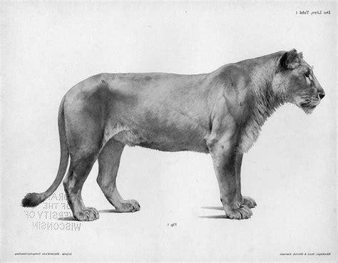 lion anatomy google search animals lion anatomy