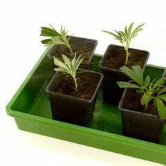 Pflanzen Bewässern Mit Plastikflasche : wie mann cannabis klone hanf stecklinge herstellt irierebel ~ Markanthonyermac.com Haus und Dekorationen