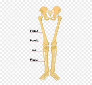 Leg Bones Diagram Diagram Schematic Ideas