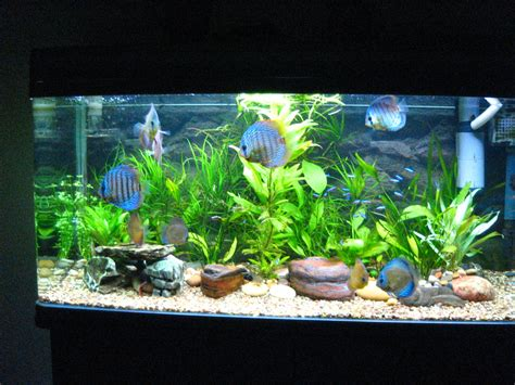 fish aquariums discus fish aquarium discus fish 2017 fish tank