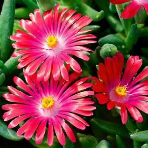 Blumen Winterhart Mehrjährig : mittagsblume pink ribbon von g rtner p tschke ~ Whattoseeinmadrid.com Haus und Dekorationen