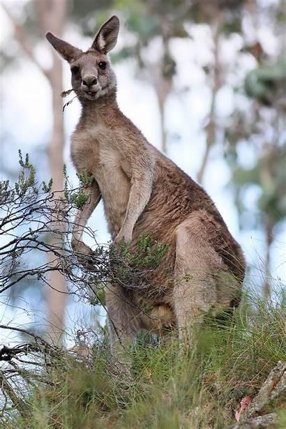 Kangaroo Grey Kanguru Eastern Feeding Wikipedia Dec07