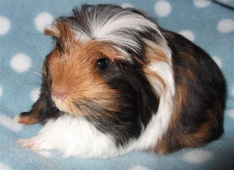 tri coloured long haired coronet guinea pig boar