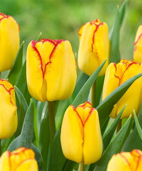 buy early tulips cape town bakkercom
