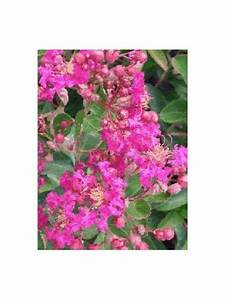 Taille Du Lilas Des Indes : lilas des indes 39 petite pink 39 lagerstroemia indica le ~ Nature-et-papiers.com Idées de Décoration